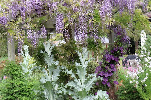 Photograph of a Wisteria growing on a pergola entwined with thistles